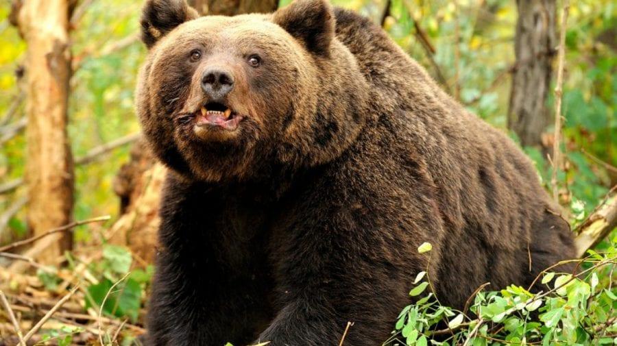 Patru pași pe care trebuie să-i urmezi atunci când te întâlnești cu ursul: 1. Să reziști să nu fugi