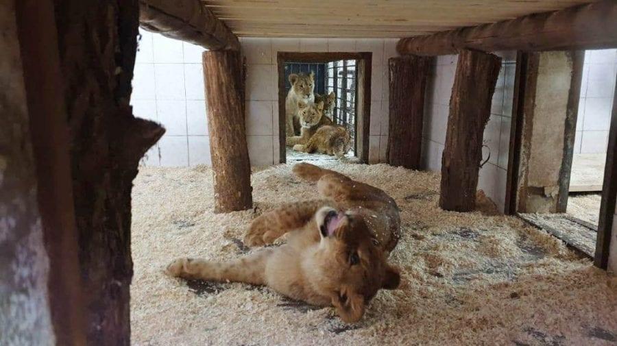 """""""Zina, Galina, Maia și Igoraș"""". Internauții au propus nume ingenioase pentru cei patru lei noi de la Grădina Zoologică"""