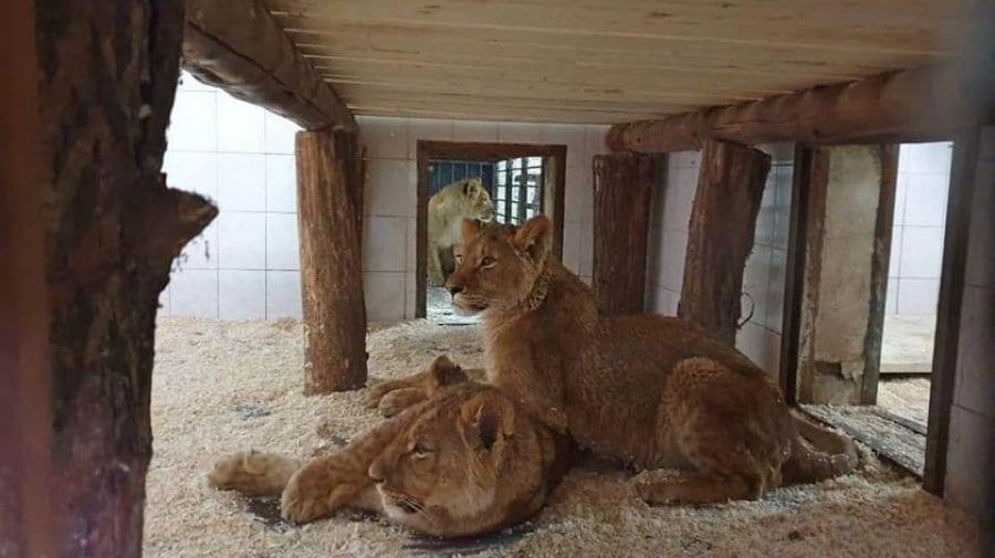 (FOTO) Grădina Zoologică din Chișinău a devenit gazda a patru lei africani