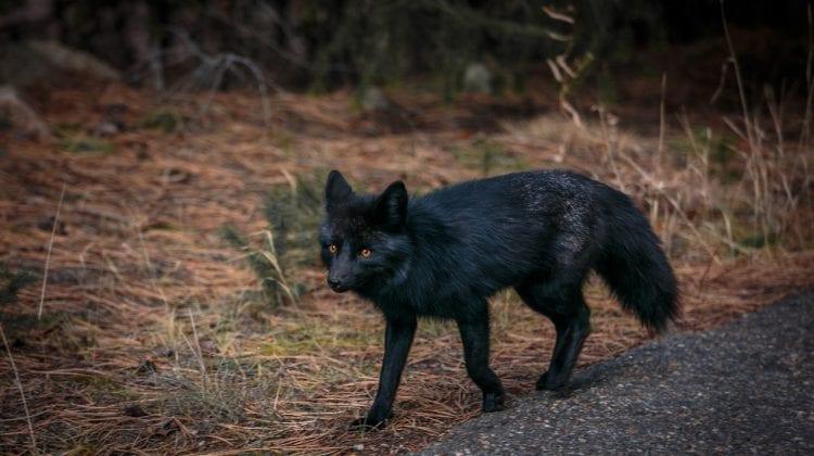 (VIDEO) O vulpe neagră, unică, surprinsă într-o grădină din Londra