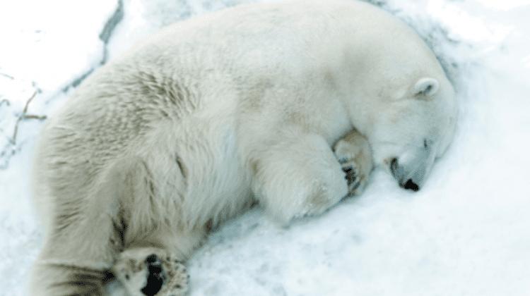 Ursul polar Umka, vedetă a unei Grădinii ZOO din Rusia, a decedat după ce a înghițit o minge aruncată de vizitatori