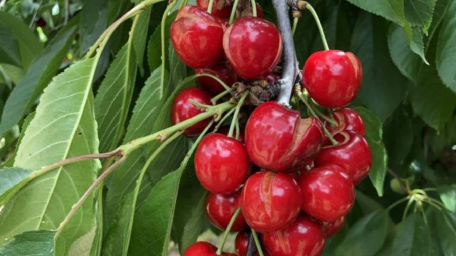 De ce crapă cireșele? Sfaturi utile pentru prevenirea fenomenului