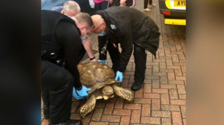 O țestoasă uriașă, de peste 60 de kilograme, a fugit de acasă și a pornit la plimbare prin oraș