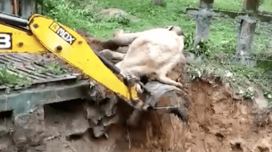 (VIDEO) Momentul în care un elefant blocat într-o groapă de noroi este salvat cu excavatorul