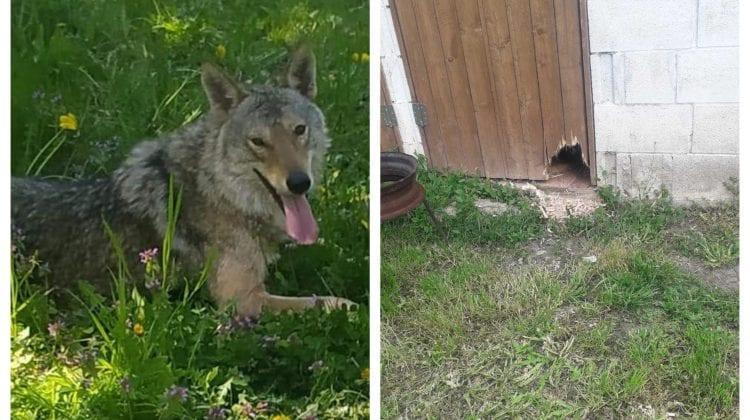 Alertă la Dănceni! Un lup se plimbă prin localitate după ce a fost prins ieri în sat, iar noaptea trecută a evadat