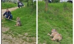 (VIDEO) Ultima oră! Lupul Dany din satul Dănceni a fost prins. Este rănit și obosit
