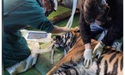 Prima operație în lume la un tigru căruia s-a reușit salvarea ochiului bolnav