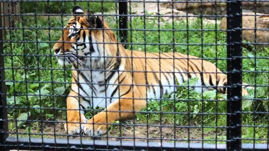 S-a stins din viață angajatul ZOO care a fost mușcat de un tigru