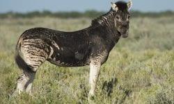 Zebră fără dungi, fotografiată într-un parc. Cum se explică că animalul nu are liniile albe
