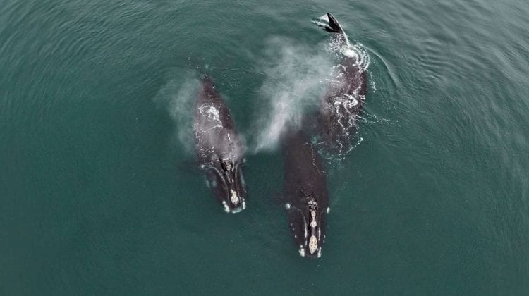 """(VIDEO) Imagini unice! Două balene pe cale de sipariție surprinse cum """"se îmbrățișează"""""""
