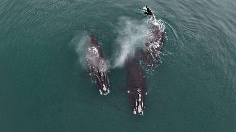 """(VIDEO) Imagini unice! Două balene pe cale de dispariție surprinse cum """"se îmbrățișează"""""""