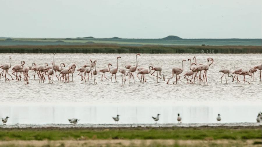 (FOTO) Apariție exotică în Delta Dunării. Peste 100 de păsări flamingo au fost observate