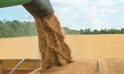 (DOC) Șase mii de tone de grâu, pe cale să fie exportate în Israel. O companie cere certificatul fitosanitar de la ANSA