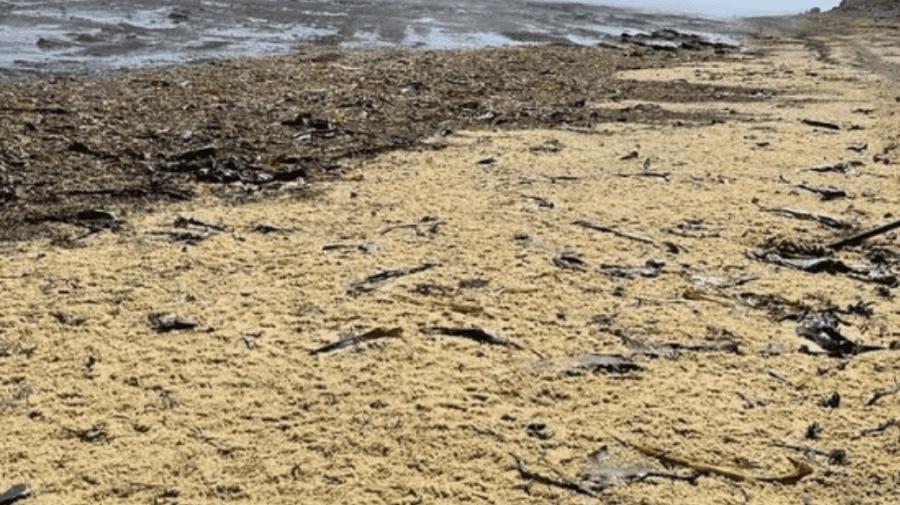 (VIDEO) Caviar de hering colectat cu lopețile pe Insula Sahalin din Rusia