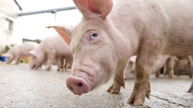 Importul de porci și carne din România, interzis în Moldova. Motivul