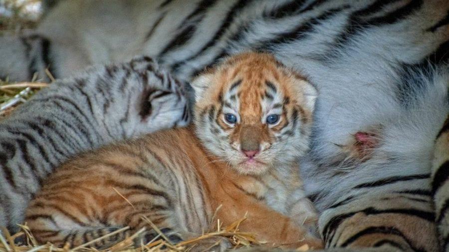 (FOTO) Puii de tigru de la Grădina Zoologică au ieșit din ascunziș. Cum arată aceștia