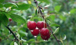 (FOTO) Poftiți la cireșe! Unde se află livada unui fermier care oferă GRATIS fructe moldovenilor