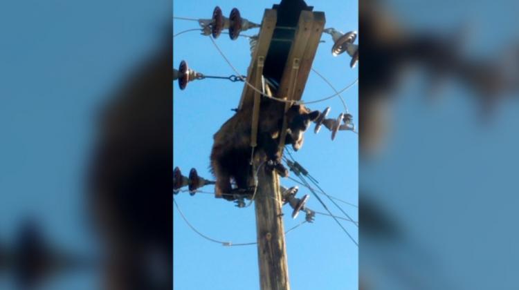 (VIDEO) Un urs la înălțime! A urcat pe un stâlp de înaltă tensiune și a rămas blocat