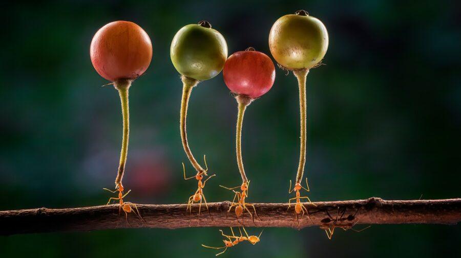 """Imagini uimitoare! """"Superfurnicile"""" care duc fructe de trei ori mai mari și mai grele decât ele"""
