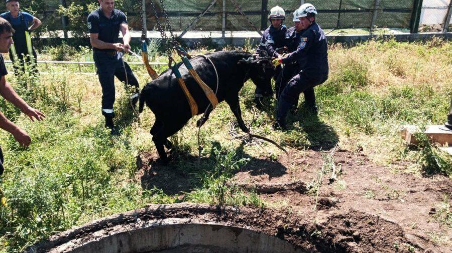 FOTO, VIDEO O vacă, căzută într-o gură de canalizare în Chișinău! Cum a ajuns acolo?
