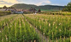 FOTO Prima floare din România protejată la nivel european! Cum arată?
