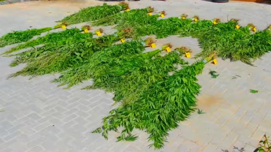 VIDEO Riscă AMENDĂ de mii de lei. Peste 800 de fire de cânepă, DEPISTATE în grădina unui bărbat din CRIULENI