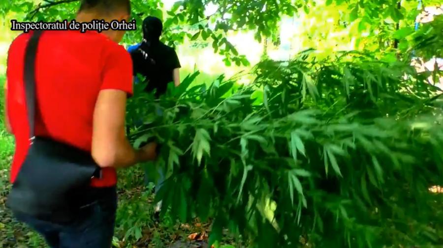 Zeci de plante de cânepă și mac cu căciulii, depistate în grădina unui bărbat din Orhei. Ce riscă acesta