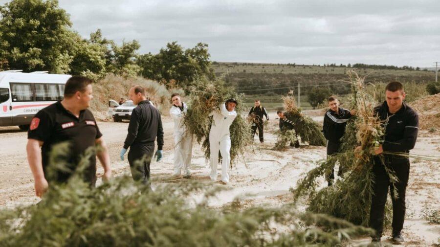 FOTO Plante asemănătoare cu cânepa, depistate în raionul Taraclia. Carabinierii au numărat circa 800 de fire
