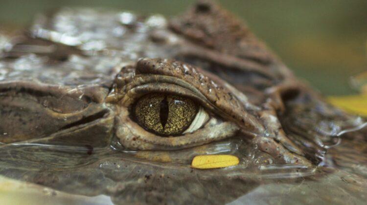 A fost descoperit un schelet vechi de 150 de milioane de ani, considerat un strămoș al crocodilului din zilele noastre