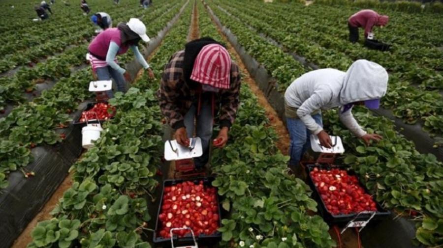 A fost semnat un ACT ce îi privește pe MOLDOVENII care desfășoară o muncă sezonieră agricolă în Germania. Ce presupune