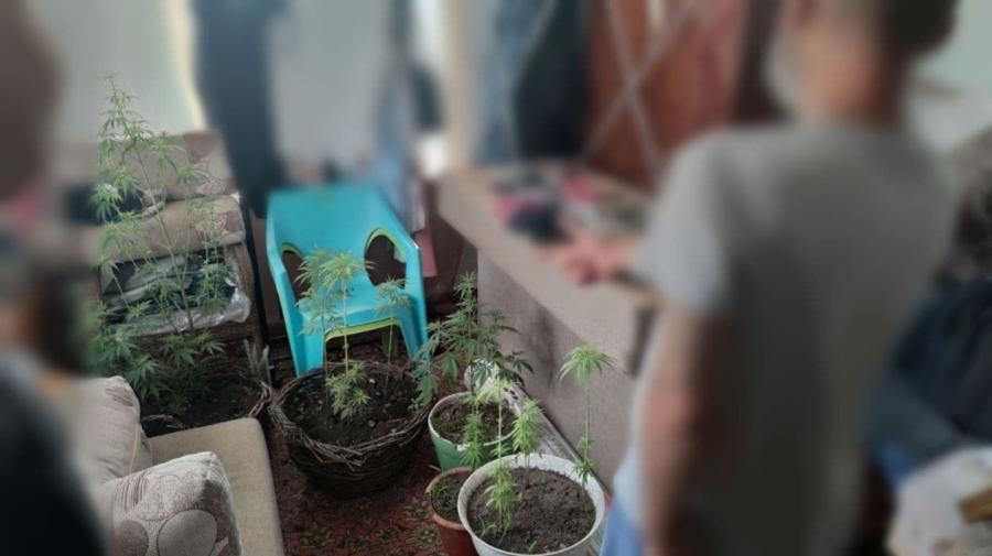 Operațiunea Mac-2021 în desfășurare! Polițiștii au depistat la Bălți plante de cânepă și mac în ogrăzile unor oameni