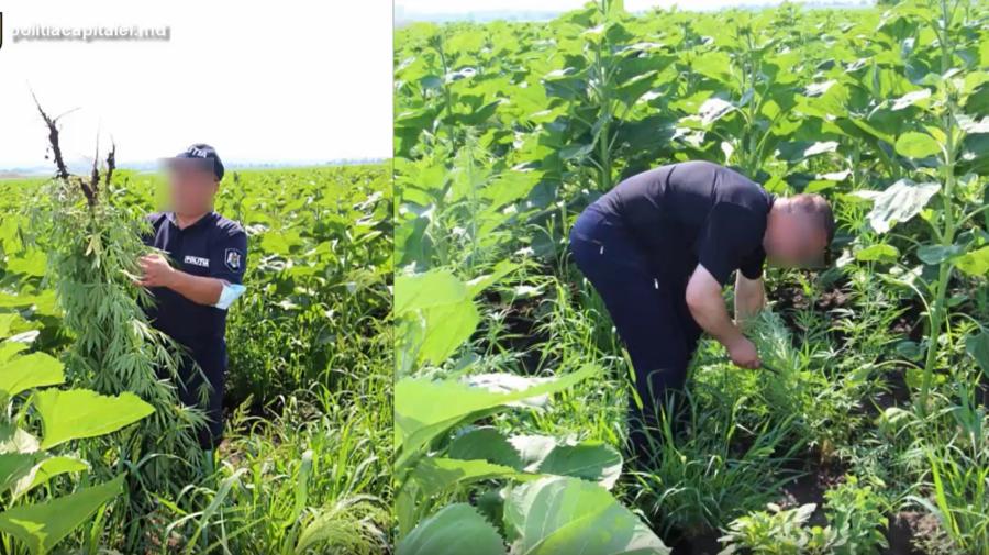 VIDEO Plante de cânepă în valoare de 120 de mii de lei, DEPISTATE de polițiști. Acestea au mers la expertiză