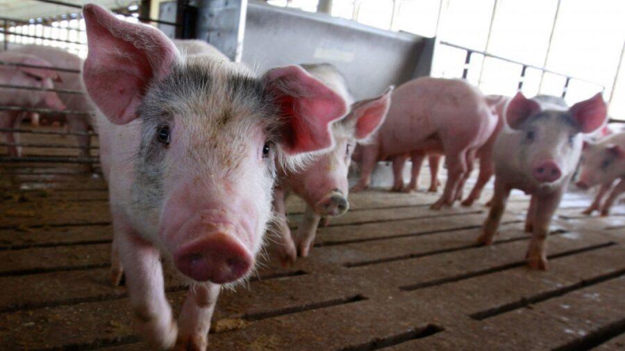 Noi reguli pentru creșterea porcilor! Nu mai pot fi hrăniți cu resturi și la ei se intră cu încălțăminte dezinfectată