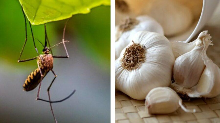 Trei soluții naturale, pe care le puteți face acasă pentru a scăpa de țânțari! Aveți nevoie de ceapă și usturoi