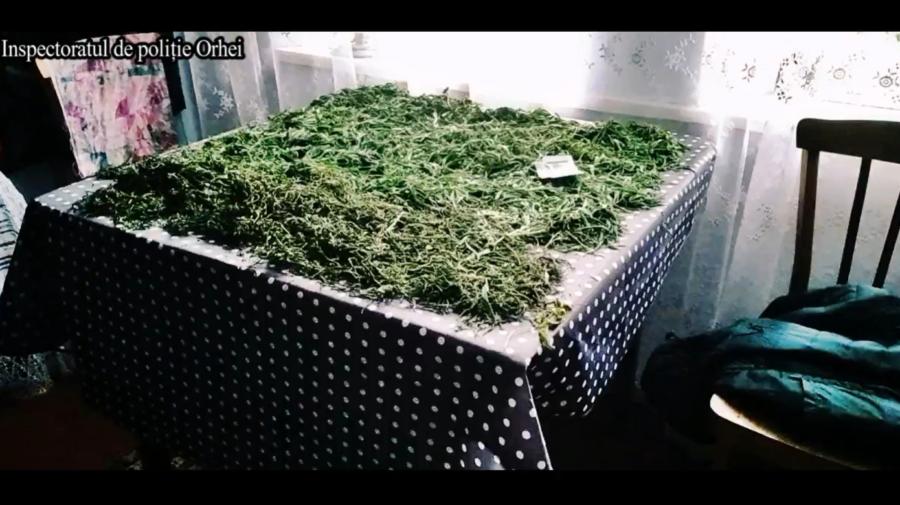 VIDEO Creștea cânepă în propria grădină. Câteva plante erau DEJA puse la uscat
