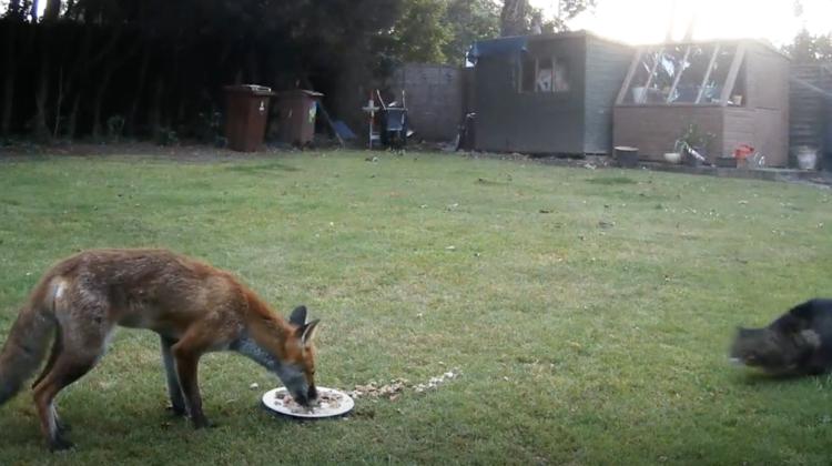 VIDEO Confruntare pentru mâncare dintre o vulpe sălbatică și un pisoi. Cine a plecat cu coada-ntre picioare?