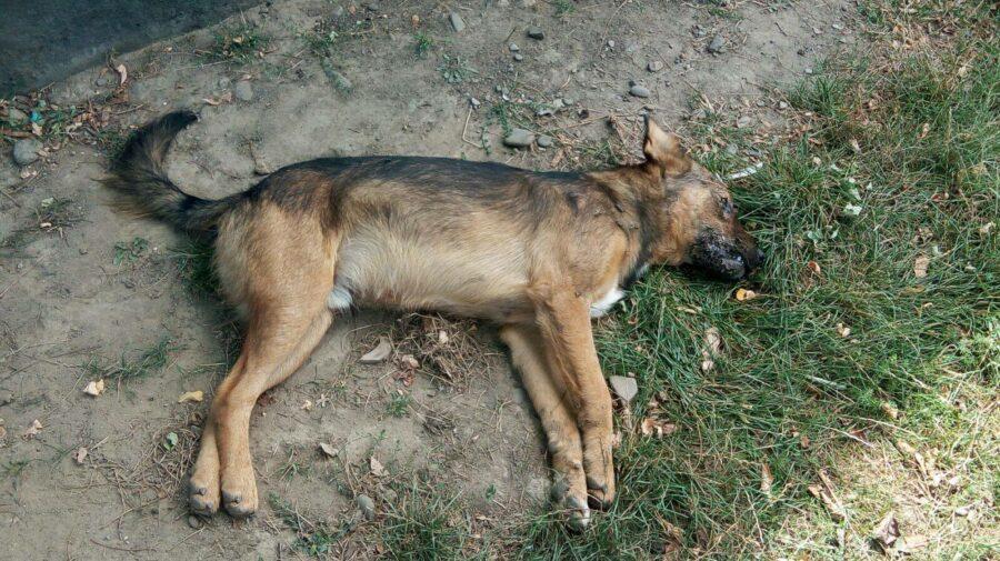 Scene de groază la Comrat: câinii otrăviți mor în convulsii, pe străzi