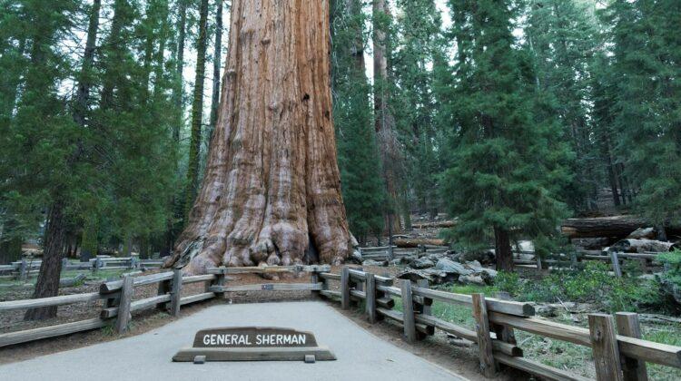 FOTO Învelit cu folii rezistente la incendii! Cel mai mare copac din lume, cu o înălțime de 84 de metri, în pericol