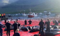 Cazul celor 1400 de delfini spintecați cu cruzime pe o plajă din Insulele Feroe, ajunge pe masa guvernului