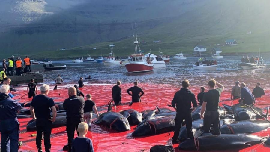 VIDEO Imagini cu impact emoțional! Tradiție sau tortură? Peste 1.400 de delfini au fost uciși pe o plajă