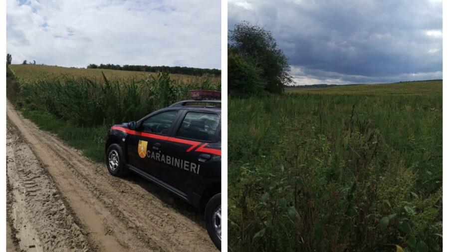 """Cânepa s-a """"estins"""" și în raionul Hîncești. Plantele au fost depistate în preajma unei plantații cu floarea soarelui"""