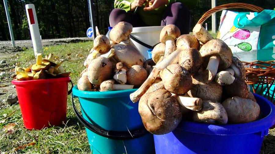 Sezonul ciupercilor! ANSA atrage atenția populației asupra riscurilor. Anul acesta condițiile sunt mai favorabile
