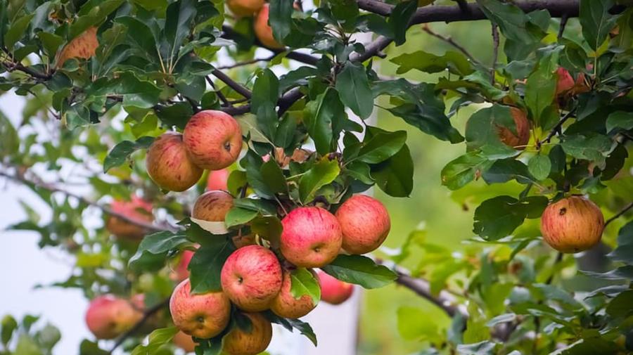 ANSA despre culturile agricole din acest an: Condițiile meteorologice din perioada de vară au fost în fond favorabile