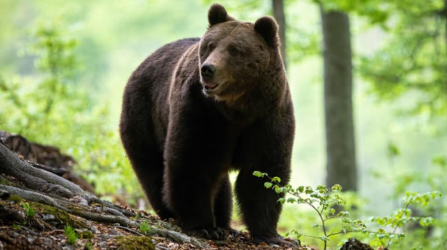 S-a întâmplat chiar în România! Un bărbat în vârstă de 50 de ani a fost atacat de un urs