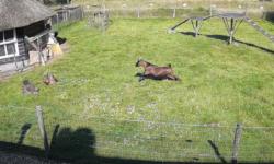 VIDEO O găină atacată de un șoim! Momentul incredibil în care capra și cocoșul din apropiere i-au sărit în ajutor
