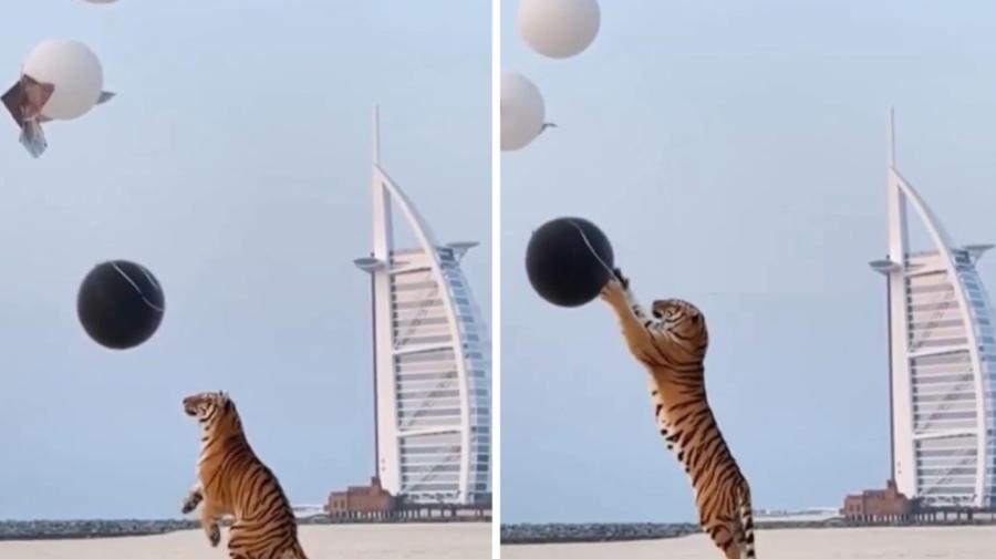 VIDEO Un cuplu din Dubai a adus un tigru la petrecerea de dezvăluire de gen a bebelușului lor. Ce pedeapsă riscă
