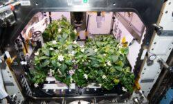 """FOTO, VIDEO """"Houston, avem piper"""". Niște astronauți au reușit să crească ardei iuți în cosmos"""