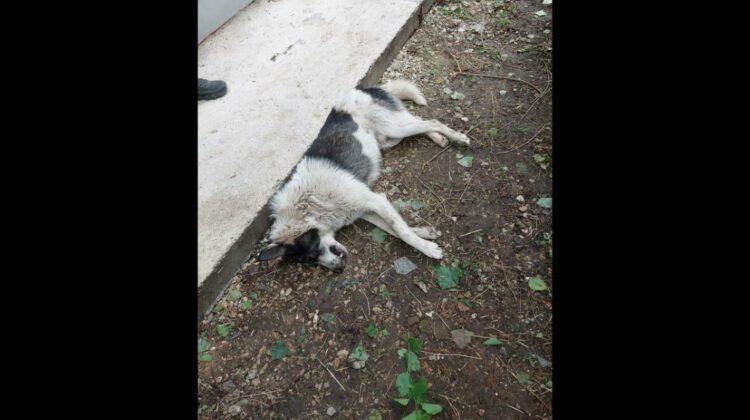 Criminal în serie la Bălți! Zeci de animale sunt otrăvite. Poliția strânge din umeri, iar câinii mor în convulsii